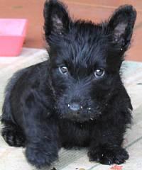 scottish_terrier_puppy_with_attitude